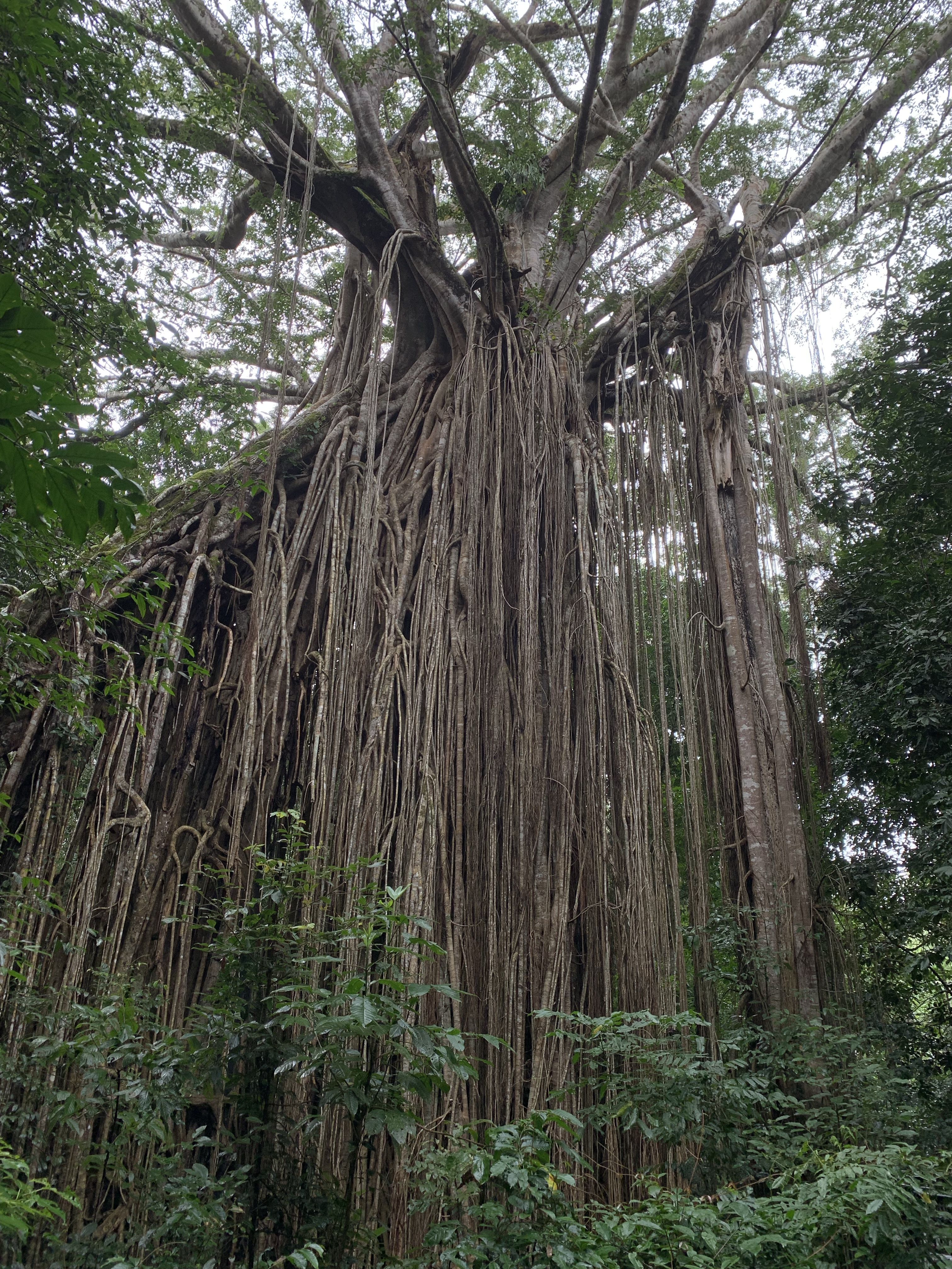 Curtain Fig Tree in North Queensland, Australia